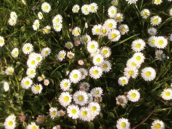 Zachwyt nad pierwszym wiosennym kwieciem – wiersze Jadwigi Zgliszewskiej