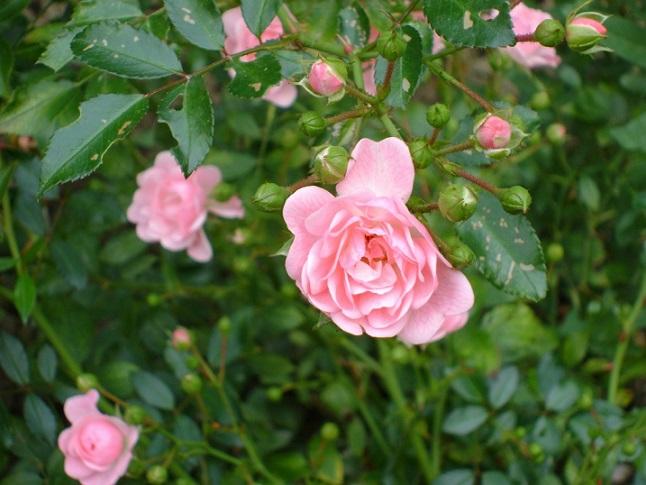 Wśród róż – wiersze Bernadyny Łuczaj