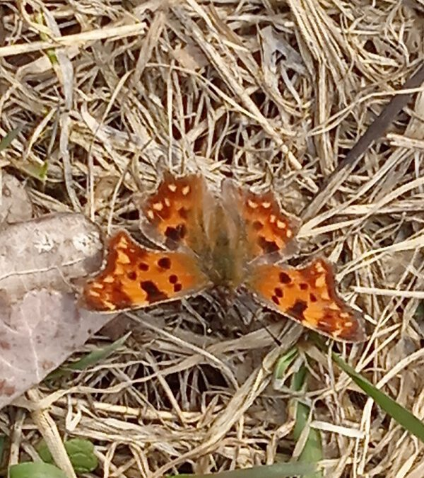 Las Zwierzyniecki - kolorowy motyl na suchej trawie