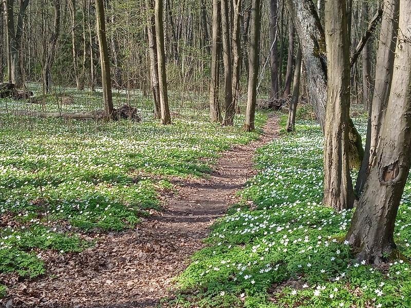 Las Zwierzyniecki - ścieżka w lesie